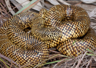 Brooks Kingsnake