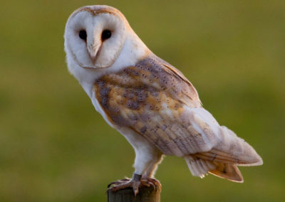 Willow the Barn Owl